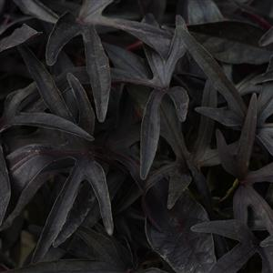 Sweet Potato Vine - Ipomea Black